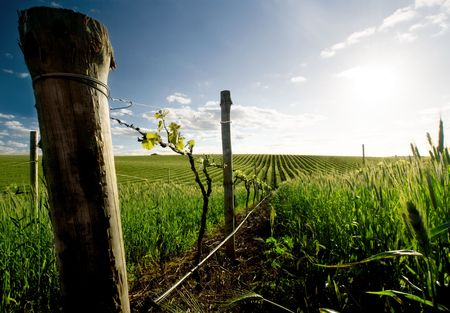 Scenic vineyard in the Barossa Valley photo