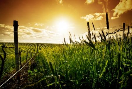 australie landschap: Wijn gaarden in de Barossa-vallei
