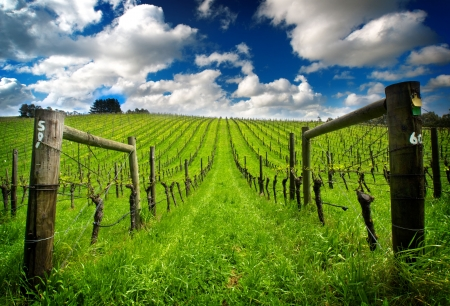 Vineyard in the Adelaide Hills Stock Photo - 5949926