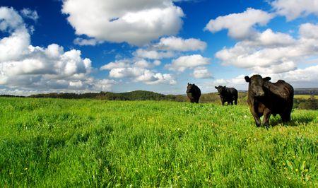 緑の牧草地で牛