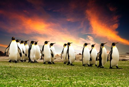 march: King Penguins in the Falkland Islands