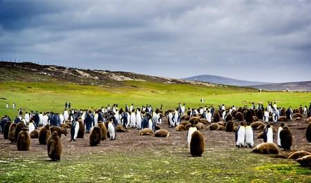 pinguinera: Colonia de ping�ino rey en las Islas Malvinas  Foto de archivo