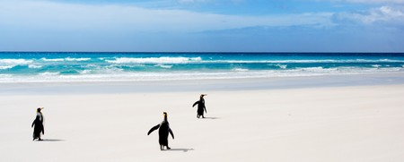 penguins on beach: King Penguins in the Falkland Islands