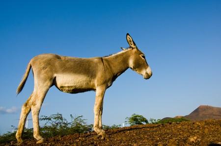 christianity palm sunday: Donkey on Ascension Island Stock Photo