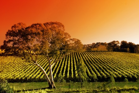 Vineyard in the Adelaide Hills photo