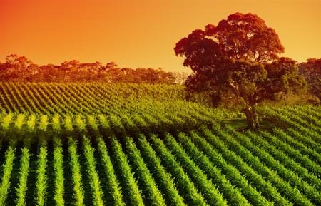 australie landschap: Wijn gaard in de Adelaide Hills