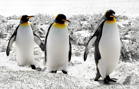 penguins on beach: 3 King Penguins in the Falkland Islands