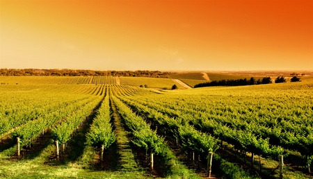 Vineyard at One Tree Hill, South Australia Stok Fotoğraf