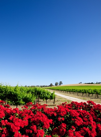 Vineyard and red flowers in the Barossa Valley photo