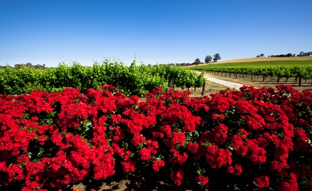 Colorful Vineyard in the Barossa Valley, South Australia Stock Photo - 9545012