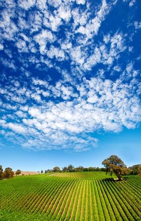 Amazing vineyard in South Australia photo