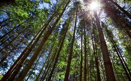 숲에서 키 큰 나무들을 통해 빛나는 태양