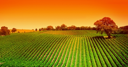 Sunrise over vineyard in the Adelaide Hills Stock Photo - 9545003