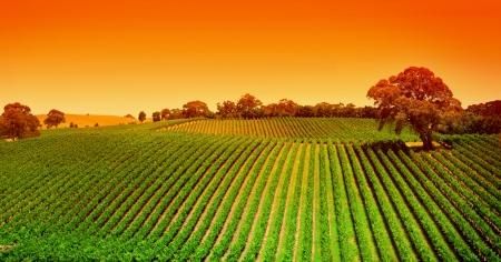 Lever du soleil sur la vigne dans les collines d'Adélaïde