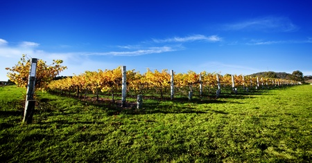 Late afternoon vineyard in South Australia