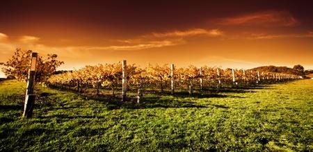 Autumn Vineyard at sunset Stock Photo - 9545027