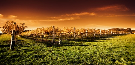 wineries: Autumn Vineyard at sunset