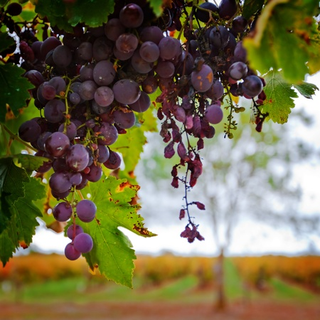Red grapes against Autumn Vineyard