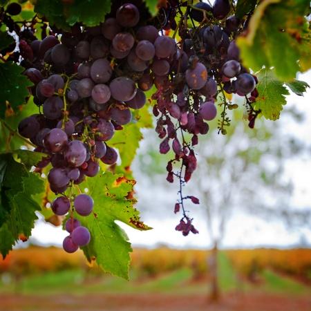 uvas: Uvas rojas contra el vi�edo de oto�o