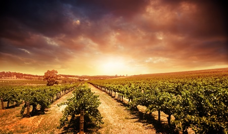 Beautiful scenic vineyard with stormy sunset sky Stock Photo