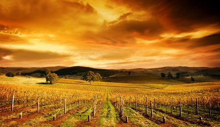 A stunning sunset over an autumn vineyard in South Australia photo