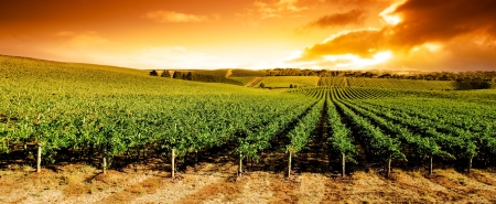 australia landscape: Gorgeous sunset over beautiful green vines