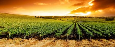 australie landschap: Prachtige zonsondergang over mooie groene wijnstokken