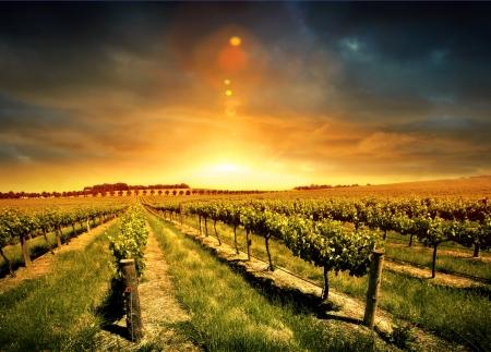 vi�edo: Puesta de sol sobre un vi�edo de Barossa