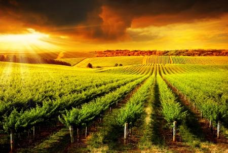bodegas: Una puesta de sol sobre un vi�edo de Barossa