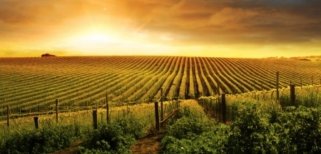 field sunset: A Beautiful Sunset over a Barossa Vineyard