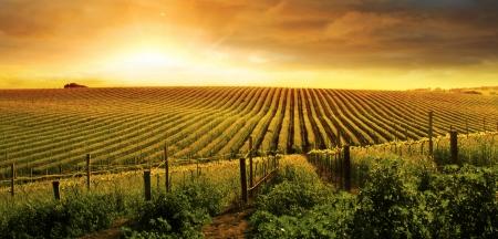 agricultura: Una puesta de sol sobre un vi?edo de Barossa