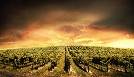 Beautiful Vineyard Sunset in South Australia photo