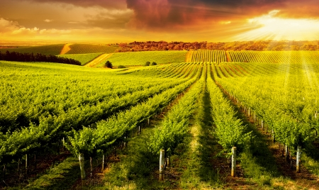 field sunset: A Beautiful Sunset over vineyard in South Australia Stock Photo