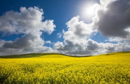 Wspaniały Canola Pole oświetlone przez słońce