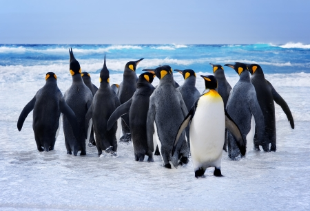 antarctic: King Penguins heading to the water in the Falkland Islands