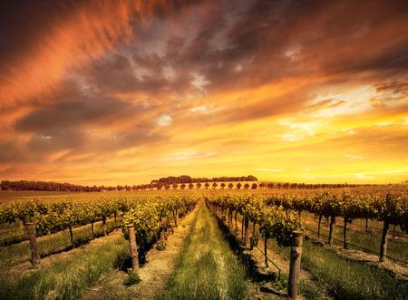 Vineyard in the Barossa Valley, South Australia Zdjęcie Seryjne - 26072778