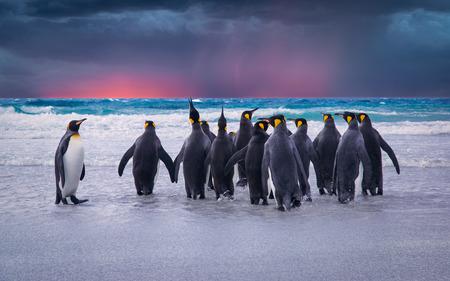 puesta de sol: Rey ping�inos en las Islas Malvinas