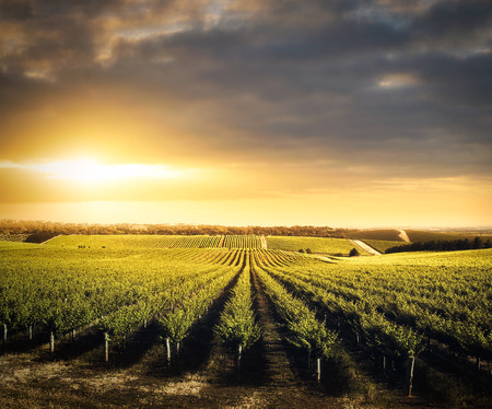 Vineyard in the Adelaide Hills, South Australia Stok Fotoğraf