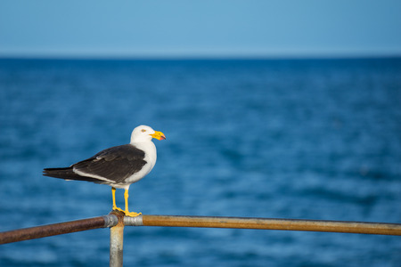 sea gull: Sea Gull watching the ocean