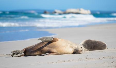 kangaroo island: Sea Lions at Seal Bay, Kangaroo Island
