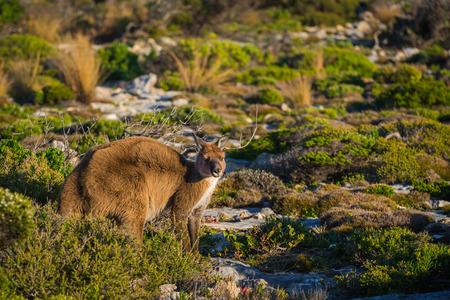 kangaroo island: Kangaroo on Kangaroo Island South Australia Stock Photo
