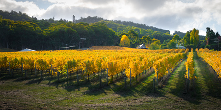 vine country: Beautiful Autumn vines in South Australia