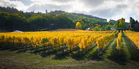 Mooie Herfst wijnstokken in Zuid-Australië