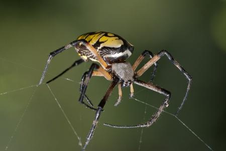Giant zwarte en gele spin