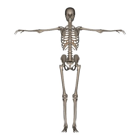 skeletal muscle: 3D rendered Female Skeleton Stock Photo
