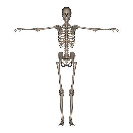 3D rendered Female Skeleton