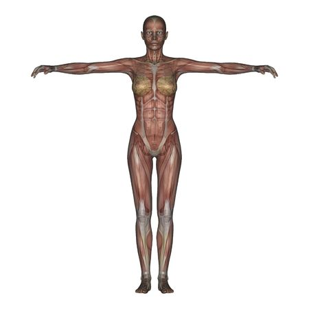 skeletal muscle: 3D render of a female skeleton with transparent muscles.