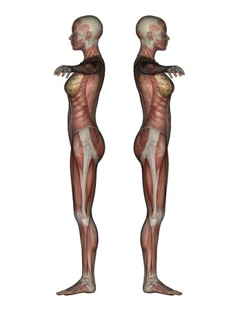 anatomic: 3D render of a female skeleton with transparent muscles.