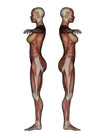 3D render depicting human anatomy - muscles - female  photo