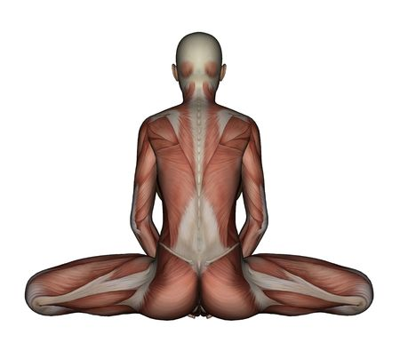 bound woman: Yoga - Bound Angle Pose. Female Muscles -  Back View